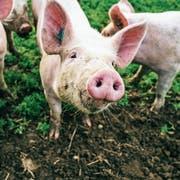 Schweine sind intelligente und reinliche Tiere: Im Freiland gehalten werden sie in der Schweiz aber nur selten. (Bild: Getty)