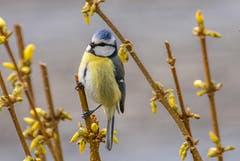Eine Blaumeise im Frühling. (Bild: Franziska Hörler)