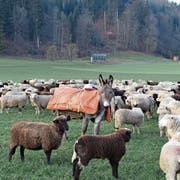 Esel kennen keine Gefahr und eignen sich darum als Beschützer von Schafherden. Bild: Marie-Louise Elmiger (Altishofen, 27. Januar 2019)