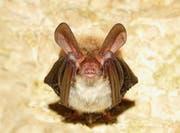 Ein Kennzeichen der nur rund 10 Gramm schweren Bechsteinfeldermaus sind riesige Ohren. (Bild: Getty)