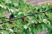 Ein junger Hausrotschwanz plustert sich auf einem Ast des Kirschbaums im Garten des Naturmuseums. (Bild: Andreas Taverner)
