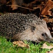 Ein Igel auf Futtersuche in einem Garten. Im Herbst müssen die Tiere besonders viel fressen, um sich für den Winter zu stärken. (Bild: KEYSTONE/Steffen Schmidt)