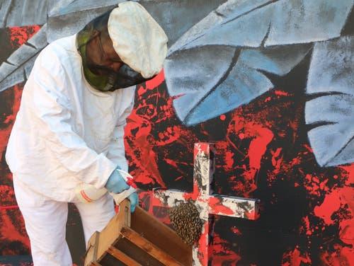 Ein Profi-Imker verfrachtet die Bienen in eine Transportkiste. (Bild: Beda Hanimann - 17. Juni 2019)
