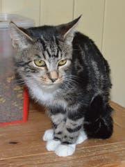 Kater Mischek wird zurzeit auf der Katzenstation Buchs betreut, bevor er an neue Besitzer vermittelt wird. (Bild: Miriam Cadosch)