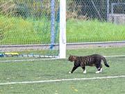 Auf dem Sportplatz Kellen in Tübach spielte sich eine Katze mühelos in den Rebsteiner Fünfmeterraum. (Bild: Remo Zollinger)