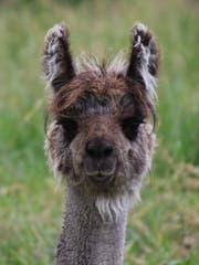 Finley ist einer der sieben Junghengste, auf der Lama del Castillo. Er kommt ursprünglich aus Italien. (Bild: Ines Biedenkapp)