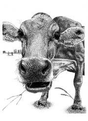 Für die Illustration «Kuh mit Ohrmarken» stand ein Herisauer Exemplar Modell. (Illustration: Lisa Scherer)