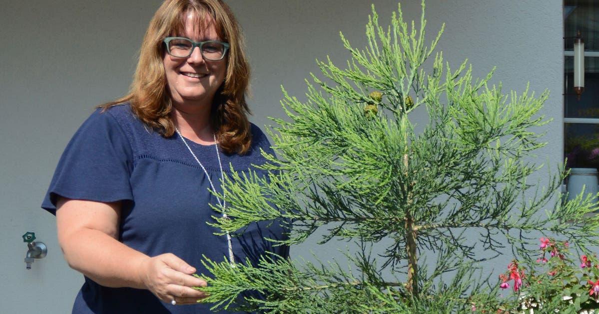Die Mammut-Mama von Herisau hat Nachkommen des gefällten Baums gezüchtet | St.Galler Tagblatt