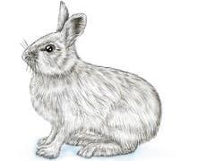 Im Vergleich zum Feldhasen fällt der Schneehase durch die kürzeren Ohren und die grösseren, dicht behaarten Pfoten auf, die wie eine Art Schneeschuhe sind. (Illustration: Oliver Marx)