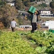 Die beiden Agrar-Initiativen setzen sich für Lebensmittel ein, die umweltschonend unter fairen Arbeitsbedingungen hergestellt werden. (Bild: Francesca Agosta/Keystone, Magadino-Ebene, 1. November 2017)