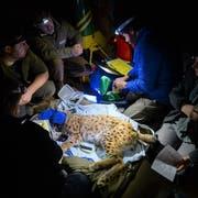 Das St.Galler Team untersucht einen für die Umsiedlung eingefangenen Luchs. (Bild: PD)