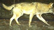 Wölfe haben dieses Jahr in der Innerschweiz mehrere Schafe gerissen. (Bild: Sicherheitsdirektion Kanton Uri) .