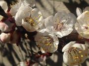 Das schöne, warme Wetter der vergangenen Tage zeitigt auch in St.Galler Gärten Folgen. Überall sind Schneeglöcklein, Primeln oder Krokusse am Blühen. An sonnigen Hausfassaden sind aber auch schon erste Spalierbäume in ein weisses Blütenkleid gehüllt: An der Metallstrasse etwa ist es ein Aprikosenbaum, der Bienen und andere Honigsammler in grosser Zahl anzieht. (Bild: Reto Voneschen - 21. März 2019)