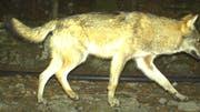 Bereits im April 2016 war in Seelisberg ein Wolf in eine Fotofalle getappt. (Bild: Amt für Forst und Jagd Uri, 2016)