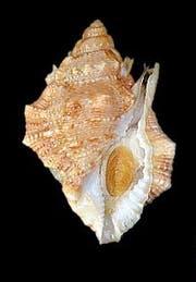 Ein Biologe benannte diese Meeresschnecke nach seinem Lieblingssportler: «Bufonaria borisbeckeri». (Bild: PD)