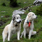 Zwei Herdenschutzhunde bewachen eine Schafherde. (Bild Nadia Schärli)
