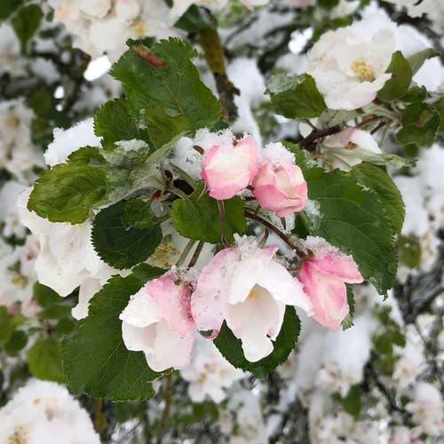 Apfelblüten im Schnee. (Leserbild: Carsten Dieckmann - Bühler AR, 5. Mai 2019)