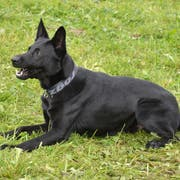 Polizeihund «Dodge» (Bild: Luzerner Polizei)