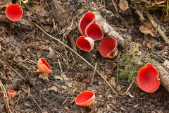 Pilze kommen in allen möglichen Formen und Farben daher: Scharlachrote Kelchbecherlinge im alten Sandsteinbruch bei Lutzenberg. (Leserbild: Daniel Widmer - 4. April 2017)