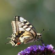 Die Zahl der Schmetterlinge hat massiv abgenommen. (Bild: PD)