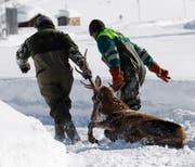 Auch Hirsche haben den Winter in Uri nicht überlebt. (Symbolbild: Arno Balzarini/Keystone)