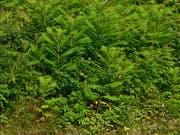 Im Weiherareal wachsen auch Essigbäume. (Bild: PD)