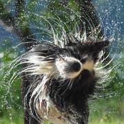 Da Hunde nicht schwitzen können, ist kühles Wasser umso willkommener. (Bild: Keystone/dpa/Patrick Pleul)