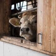 Ein Rind schaut aus einem Fenster in einem Freilaufstall. Symbolbild: Peter Schneider/Keystone (12. April 2018).