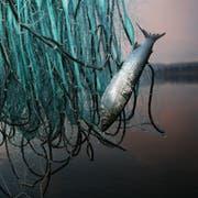 Berufsfischer Thomas Hofer holt am frühen morgen die Netze auf dem Sempachersee ein. (Symbolbild: Manuela Jans)