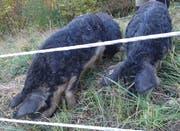 «Jäger müssen doch feisse Wollschweine mit Hängeohren von Wildschweinen unterscheiden können.» (Bild: zvg)