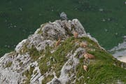 Seltener Anblick. Auf dem Weg zum Tomlishorn macht es sich eine Gruppe von Steingeissen mit ihrem Nachwuchs bequem. (Bild: aho)