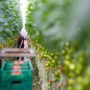 Tomaten aus Hors-sol-Produktion in einem Gewächshaus im Kanton Waadt. (Bild: Jean-Christophe Bott, Keystone)