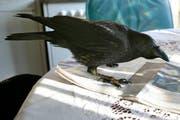 Der Rabe Pedro war lange ein ständiger Gast in einem Stadtsanktgaller Hotel. Der zahme Vogel klopfte am Morgen ans Fenster und verschwand erst beim Eindunkeln wieder. (Bild: Hannes Thalmann - 12. Februar 2008)
