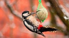 Ein Specht an einem Fettball. (Bild: PD)