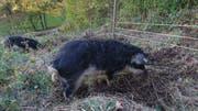 Die drei Wollschweine lebten in einem Gehege am Waldrand in Lostorf. Da der Akku des Elektrozauns leer war, konnten sie durch den Wald spazieren. (Bild: zvg)