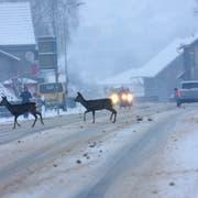 Wildtiere auf der Fahrbahn sind im Winter im Werdenberg keine Seltenheit. (Bild: Archiv Peter Eggenberger)
