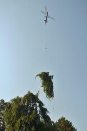 Der Helikopter transportiert ein Stück der Buche weg. (Bild: Mario Testa)