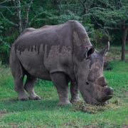 Das verstorbene Nashorn-Männchen Sudan, das letzte seiner Art. (Bild: Daniel Irungu/EPA)