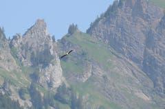 Die Storchenpopulation befindet sich nicht nur im übertragenen Sinn im Aufwind. (Bild: Jessica Nigg)