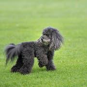 Der Kantonsrat beschloss ein neues Hundegesetz. (Bild: Ralph Ribi)