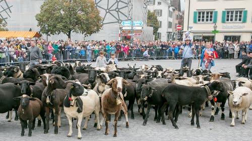 ... über Ziegen und Schafe...