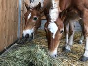 Nicht alle Pferde dürfen schönes Heu fressen - vielerorts wird mit Stroh und Silofutter gestreckt. (Bild: Jessica Nigg)