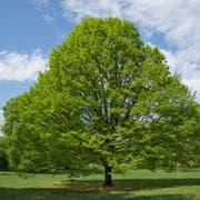 Wie reagieren die Stadtbäume auf die Hitze und Trockenheit und welche Rolle spielen sie für ein ausgeglichenes Stadtklima? Auf diese Fragen gehen die Veranstaltungen der Botanica 2019 ein - auch im Botanischen Garten St.Gallen. (Bild: Frank Teigler)