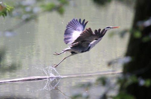 Der Fotograf ist ihm zu neugierig: ein auffliegender Graureiher. (Bild: Klaus Stadler)