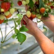 Erdbeeren aus dem Gewächshaus haben eine schlechte Ökobilanz. (Bild: Reto Martin)