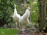 Die beiden weissen Pfauen von Armin Ruf leben nun standorttreu in seinem Garten. Zusammen mit vier Hühnern beleben sie den Park rund um die katholische Kirche Weinfeldens. (Bild: Mario Testa)