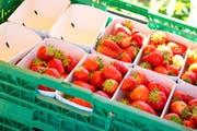 Die Erdbeerproduzenten des Bundesstaates Queensland machen einen Jahresumsatz von umgerechnet rund 110 Millionen Franken. (Themenbild: Archiv LZ)