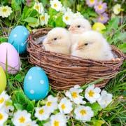 Eier und Küken dürfen auch dieses Jahr zu Ostern nicht fehlen. (Symbolbild: Philipp Schmidli, 27. März 2015)
