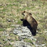 Bär M29 am 26. Mai im Eriz. Das Foto sorgte für Furore, weil es der erste Nachweis eines wilden Bären im Kanton Bern seit 190 Jahren war. Das gleiche Tier war nun offenbar auch in der Nähe des Kantons Luzern unterwegs. (Bild: PD)