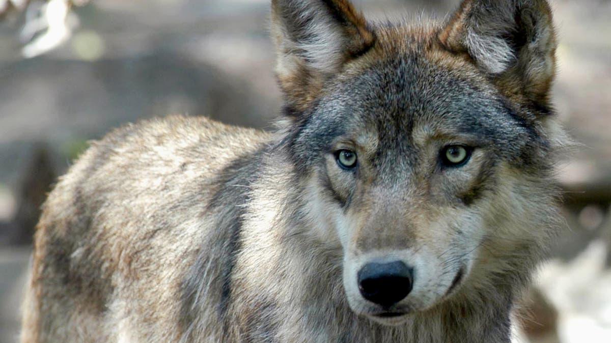 Junge Wanderwölfe on Tour durch die Ostschweiz – aber kein Grund zur Panik | St.Galler Tagblatt